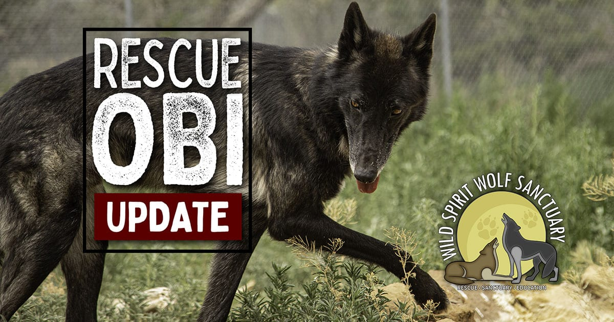 Wolfdog rescue, Obi - Rescue Mission update