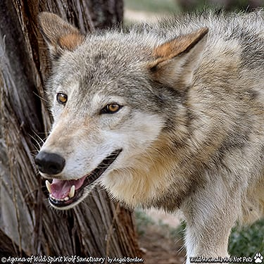 Agana - High-Content Wolf-Dog