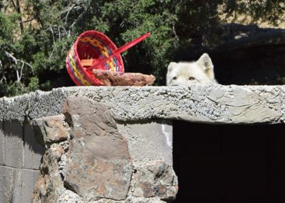 Wolfdog rescue, Brienne, receiving spring basket enrichment, 2020