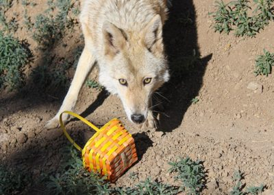 Coyote Lyla Rose Spring Basket enrichment, 2020