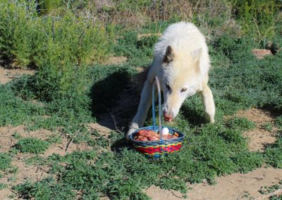 Wolfdog rescue, Zeus Spring Baskets, 2020