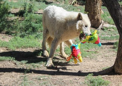 Wolf rescue, Powder Spring Baskets, 2020