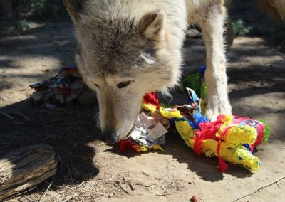 Wolfdog rescue, Dakota Spring Baskets, 2020