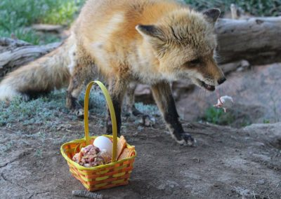 Fox rescue, Romeo Spring Baskets, 2020