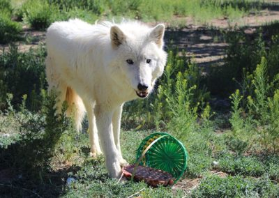 Wolf rescue, Thunder Spring Baskets, 2020