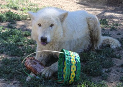 Wolf rescue, Flurry Spring Baskets, 2020