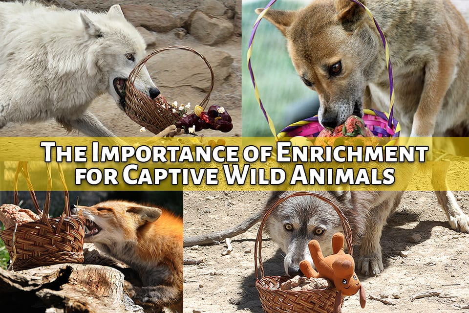 The importance of enrichment for captive wild animals like wolves and wolfdogs