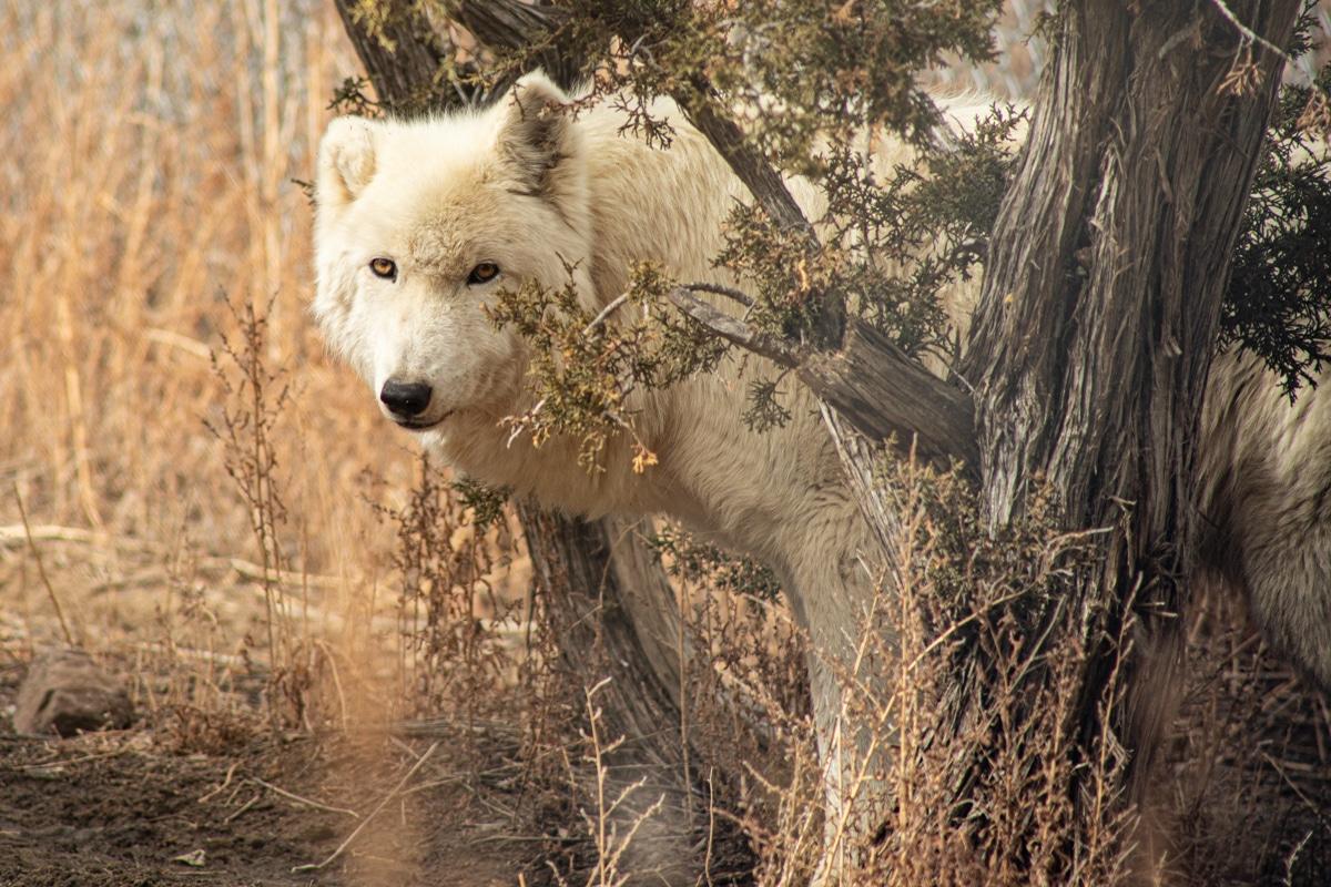 Luna - Mid-Content Wolf-Dog