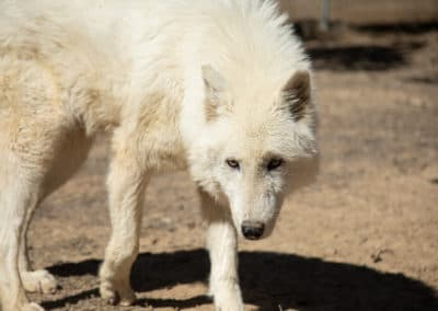 One of our Arctic wolves, Sugar