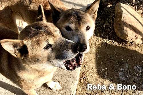 New Guinea singing dogs, Reba and Bono