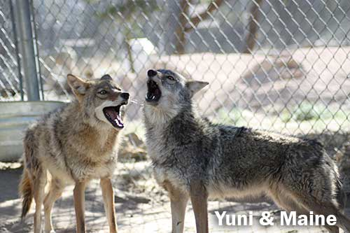 Coyotes Yuni and Maine