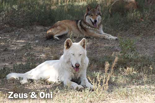 wolfdog rescues Zeus and Oni