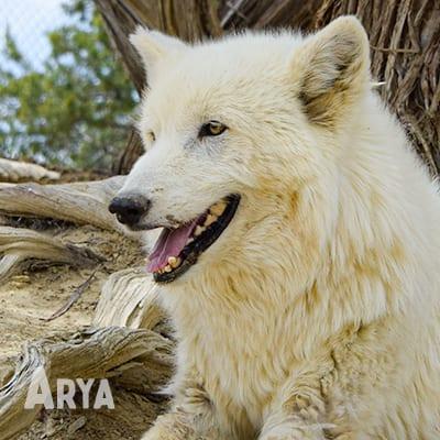 Arya is an arctic wolf