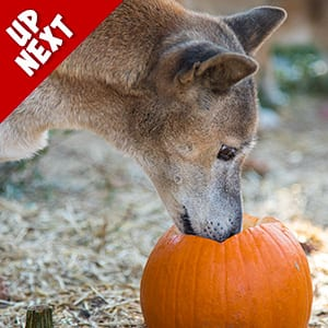 Pumpkin Toss Enrichment Event Up Next