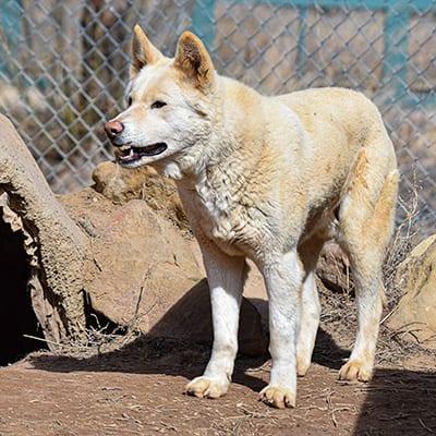 Glacier - Australian dingo