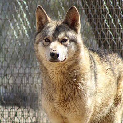 Honey - Low-Content Wolf-Dog