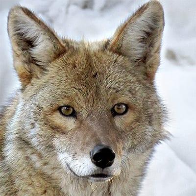 Jasa - Coyote