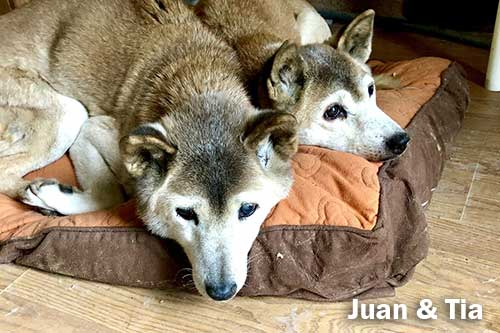 Deceased New Guinea singing dogs, Juan and Tia