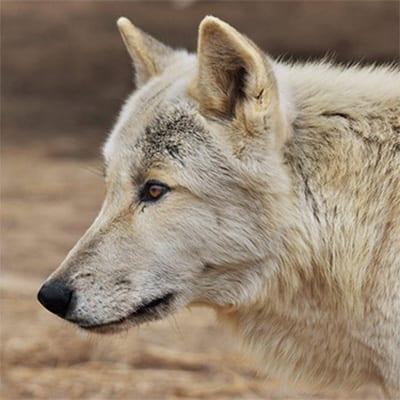 Kabbalah - Mid-Content Wolf-Dog