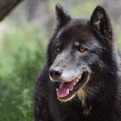 Kenai - Low-Content Wolf-Dog