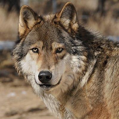 Kota - High-Content Wolf-Dog