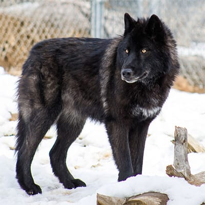 Lobo - High-Content Wolf-Dog