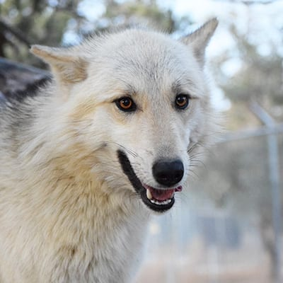Lyca - Low-Content Wolf-Dog