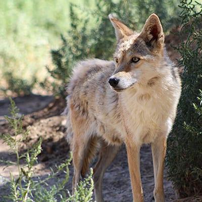 Lyla Rose - Coyote