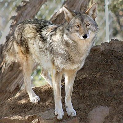 Maine - Coyote