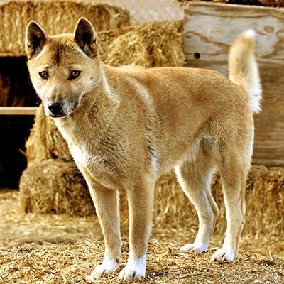 Princess - New Guinea Singing Dog