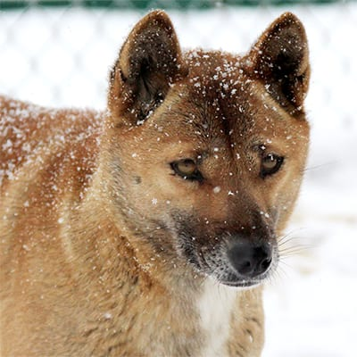 Reba - New Guinea Singing Dog