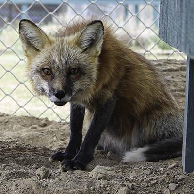 River - Fox