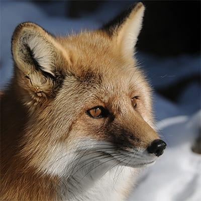 Romeo - Red Fox