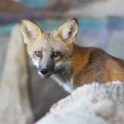 Rumi - Fox