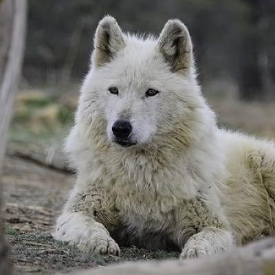 Savannah - High-Content Wolf-Dog