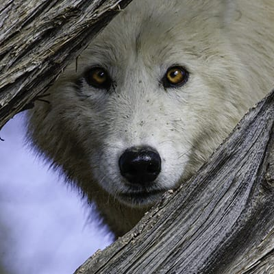 Sugar - Arctic Wolf by Ken Haskins