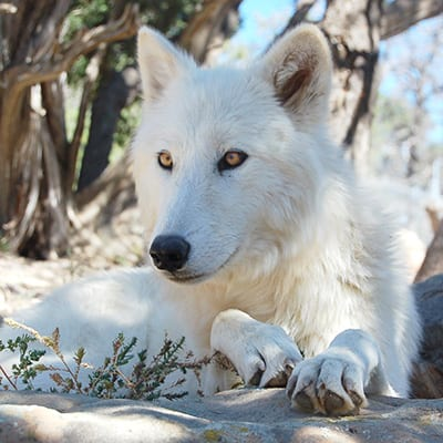 Sugar - Arctic Wolf