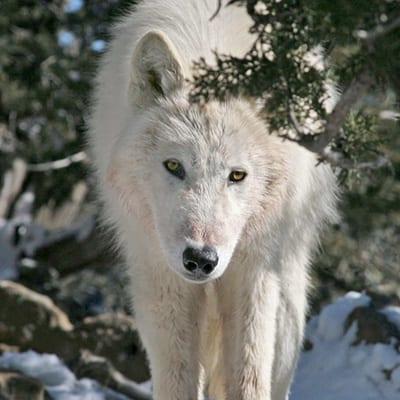 Teton - Arctic Wolf
