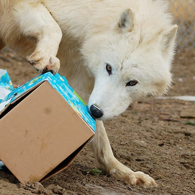Thunder - Arctic Wolf