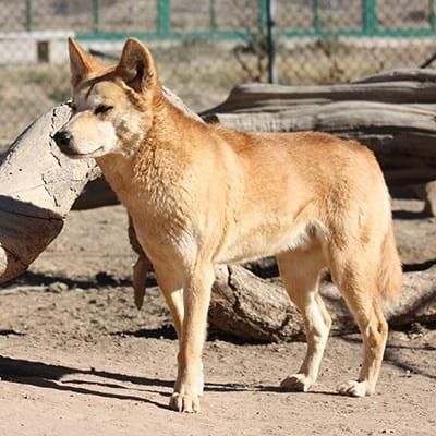 Uluru - Australian Dingo