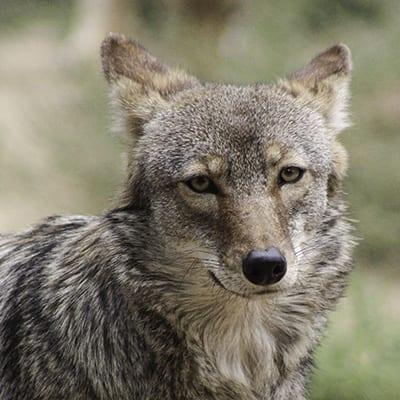 Yuni - Coyote