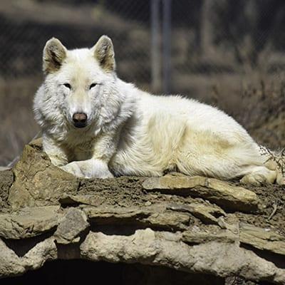 Zeus - High-Content Wolf-Dog